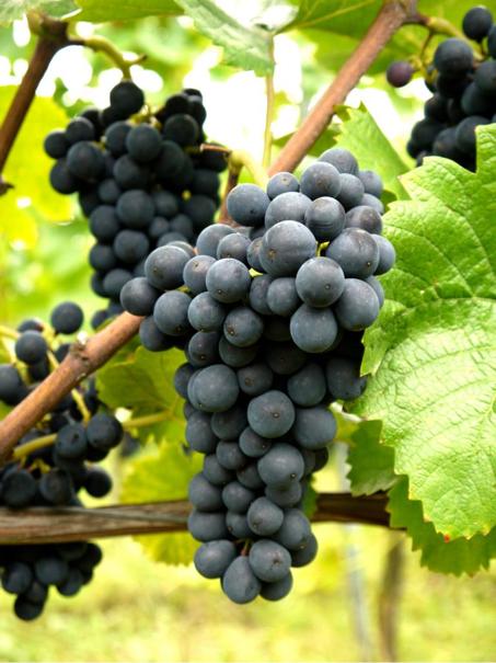 Pinot Noir-Trauben